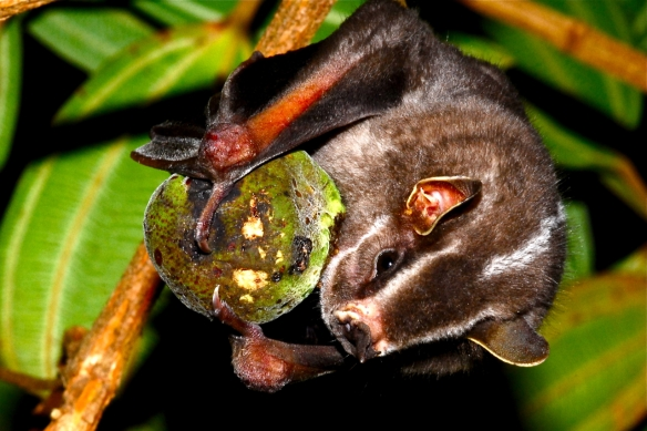 Platyrrhinus lineatus